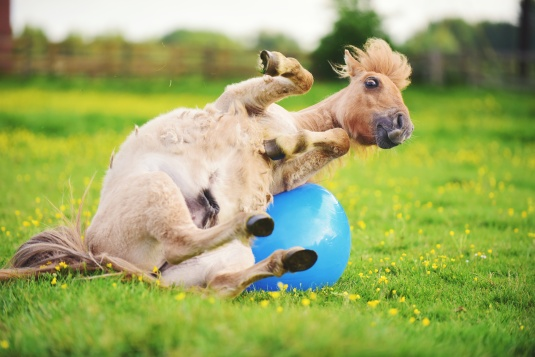 Shetland pony foal playing with ball